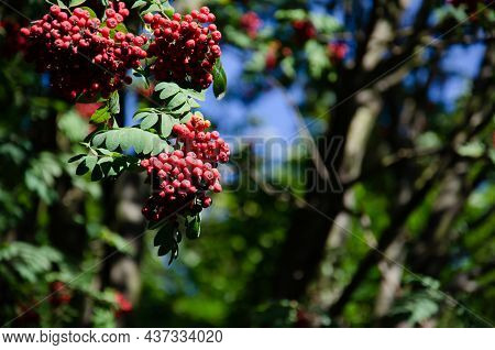 Red Ripe Hawthorn Berries With Green Leaves On Blurred Background Of Trees. Hawthorn Harvest In Autu
