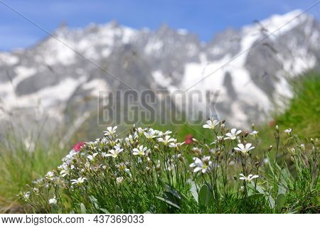 Fowers growing in the mountain meadow. Summer landscape with Mont Blanc massif (Monte Bianco) at the background. Aosta Valley, Italy.