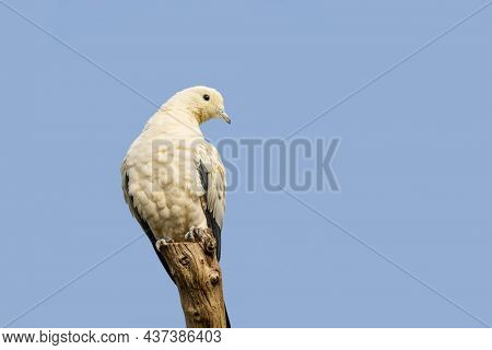 The pied Imperial Pigeon perched on a tree stump against blue sky background. This species of dove is considered to be a symbol of peace, love and tranquility and is indigenous to Southeast Asia.