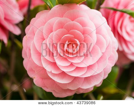 Double-flowered Camellia