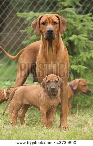 Rhodesian Ridgeback Bitch With Puppies