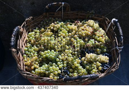 Grape Basket In Volastra From The 2021 Harvest At 5 Terre