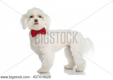 side view of cute elegant bichon puppy with red bowtie looking up and standing isolated on white background in studio