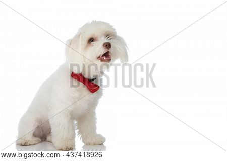 happy little blichon dog wearing red bowtie, panting and sticking out tongue, looking up and sitting isolated on white background in studio