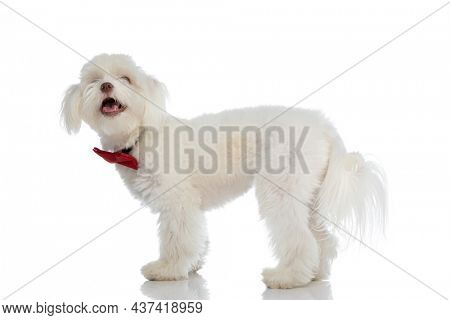 happy small bichon dog wearing red bowtie, panting and sticking out tongue, looking up and standing isolated on white background in studio