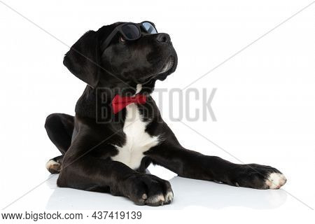 cute cane corso dog with bowtie and sunglasses looking up and side while laying down isolated on white background