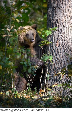 Wild Brown Bear Leans Against A Tree In The Autumn Forest. Animal In Natural Habitat. Wildlife Scene