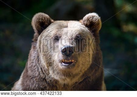 Portrait Wild Brown Bear In The Autumn Forest. Animal In Natural Habitat. Wildlife Scene