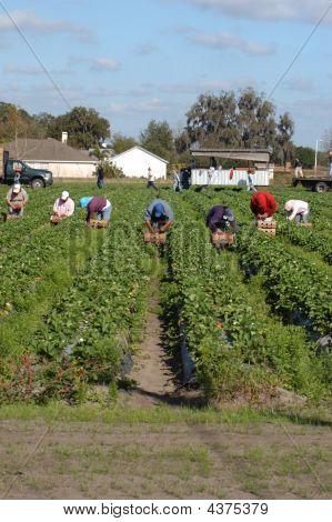 Strawberry Picker Migrant Woorkers