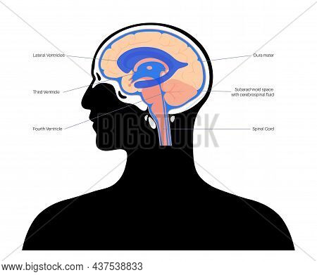Ventricular System Anatomy, Set Of Communicating Cavities Within The Brain. Cerebral Ventricles Conc