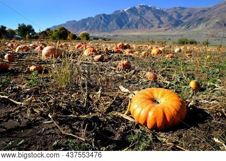 Pumpkins in field ready for harvest on an autum day with mountains in background
