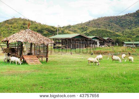 Goat Farm.