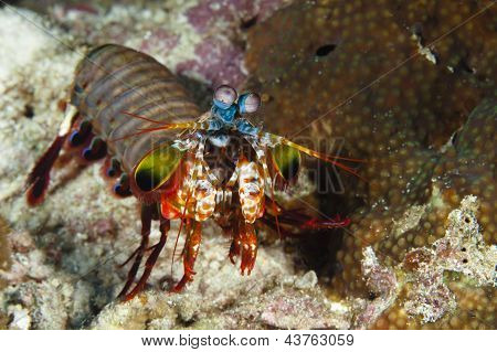 Mantis Shrimp Stomatopods