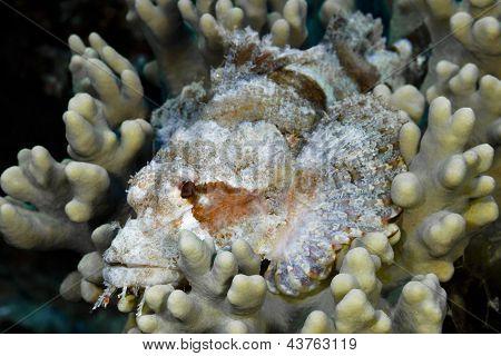 Scorpion Fish, Scorpaenidae