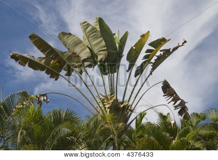 Fan shaped traveller palm tree in the coastal region of Pacific Mexico poster