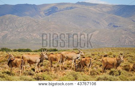 Group Of Elands, The Largest Antelope In Africa