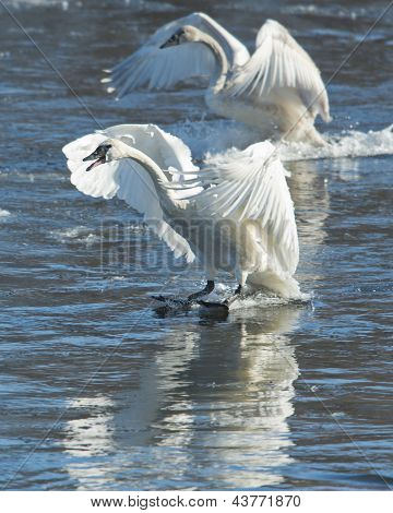 Pair of Landing Swans