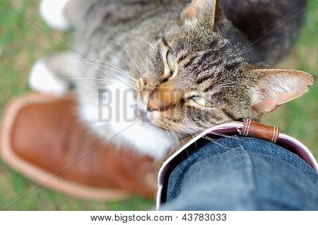 Tabby cat rubbing against its owner affectionately