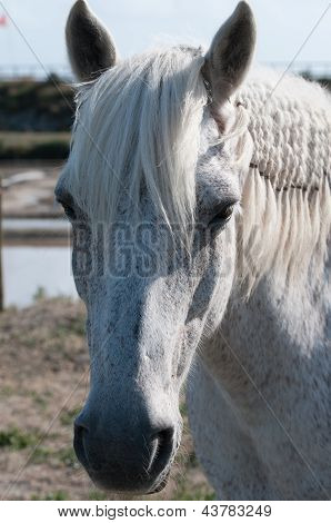 White Horse Portrait And Salt Marsh (closeup View)