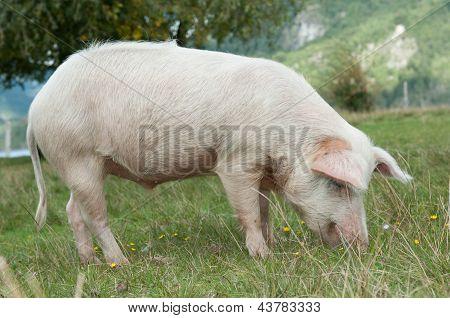 Closeup On Pig Eating