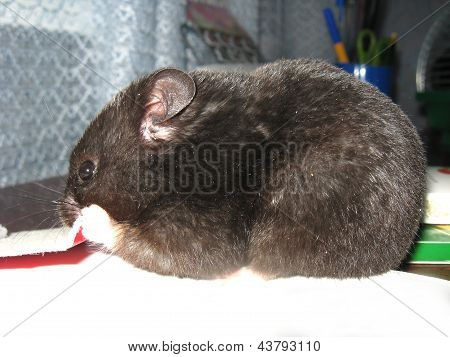 small grey hamster gnawing the paper