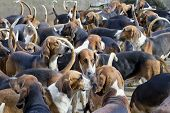 Many French purebred red hounds dogs waiting for the start of hunting in the yard of the old knight's castle. Art selective focus poster