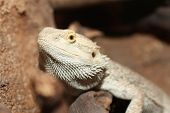 a picture of a bearded dragon sunning itself poster