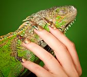 Female hand with beautiful manicure in natural style tenderly touches iguana. Macro shot over green background poster