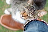 Tabby (gray and white) cat rubbing or cuddling up against its owner's brown cowboy boots and jeans affectionately or lovingly and looking up poster