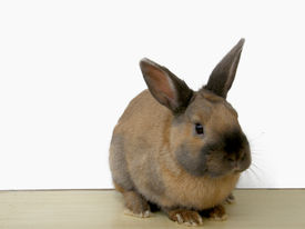 Brown rabbit isolated on white