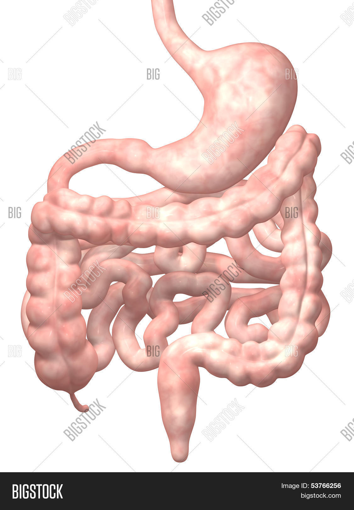 pictures of the human duodenum