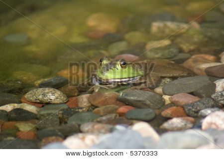 American Bullfrog Sitting In A Pond