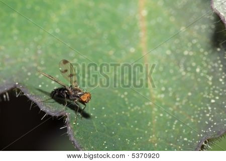 Small Fly On Leaf