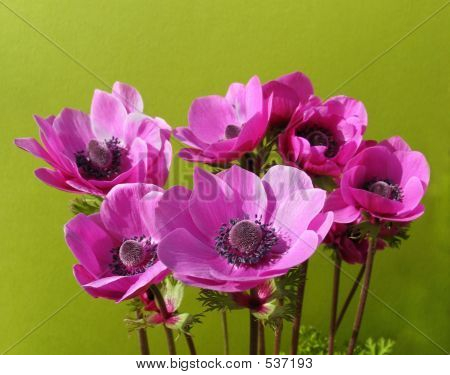 A Host Of Cheery Anemones