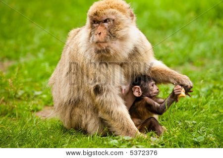 Rhesus Macaque With A Baby