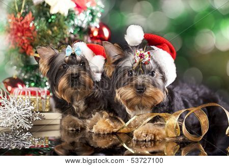 yorkshire terrier puppies  in a santa hat