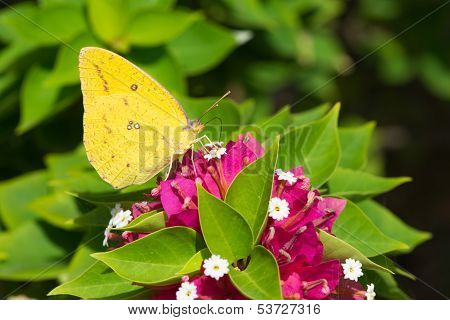 Catopsilia Florella - African Migrant Female Butterfly