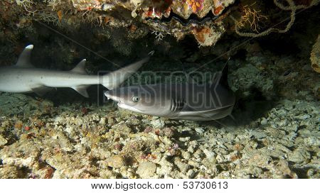 Cave White Tip Sharks