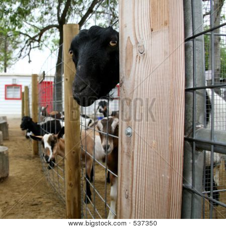 Black Goat Looking Through Fence