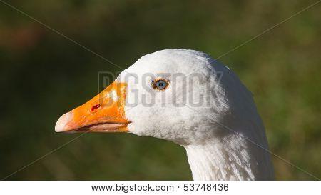White Goose Head
