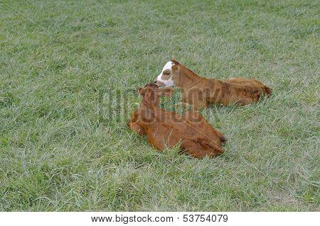 Two Calves