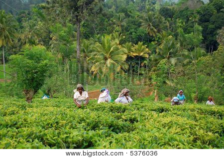 Tea Pickers At Work