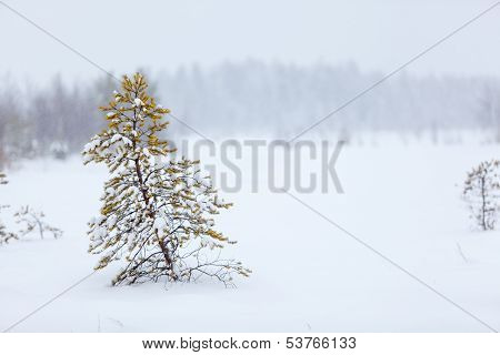 Lonely Evergreen Tree Under Strong Blizzard On White Snowy Field