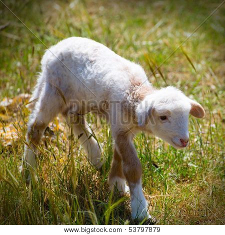 Baby lamb newborn sheep standing walking on green grass field poster