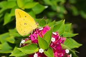 A female African Migrant butterfly (Catopsilia Florella) drinking nectar from pink flowers poster
