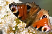 Butterfly sitting on a flower in spring time poster