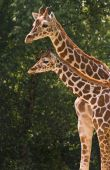 Giraffe mother and kid in morning sun poster