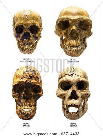 Fossil Skull Of Homo Erectus, Homo Sapiens, Homo Neanderthalis And Homo Antecessor
