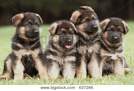 Four German Shepherd Puppies