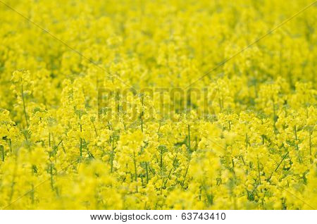 Yellow Rapeseed Field Close-up